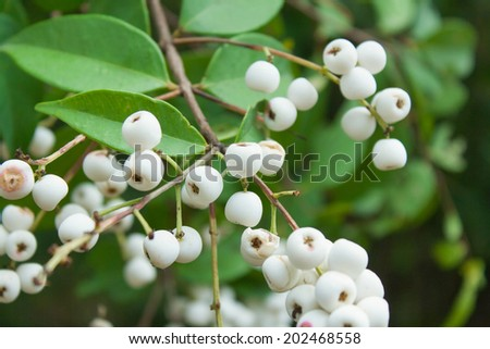 Mid-canopy tree up to 34 m tall and 51 cm dbh. Copper-red thin papery bark breaking into flakes. Plant used in folk medicine for treating various ailments such as Mild puerperal fever.  - stock photo