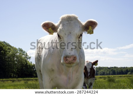 MIDDELFART, DENMARK - JUNE 9: A cow looking, on green pasture farmland, in rural Funen, Denmark. On 9th June 2015. - stock photo