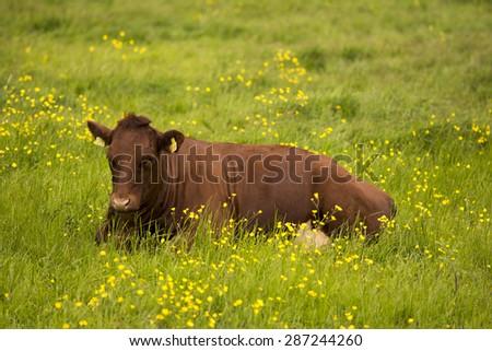 MIDDELFART, DENMARK - JUNE 7: A cow ruminating, on green pasture farmland, in rural Funen, Denmark. On 7th June 2015. - stock photo