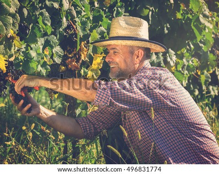 Middle age worker picking ripe grapes in vine garden.Under exposed photo