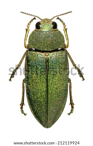 Middle Eastern jewel beetle (Steraspis squamosa) isolated on a white background - stock photo