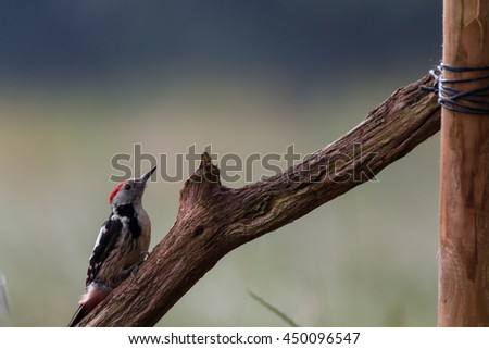 middle-spotted woodpecker