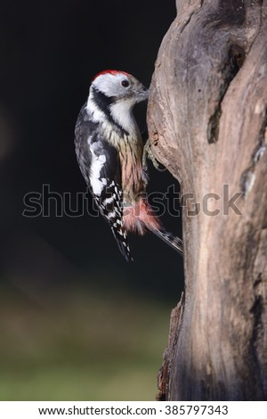 middle spotted woodpecker, [Dendrocopos medius]