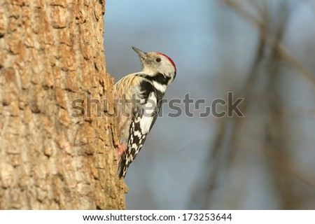 Middle Spotted Woodpecker (Dendrocopos medius) on a tree trunk. - stock photo