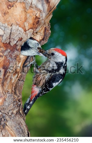 Middle spotted woodpecker feeding chick in nest - stock photo