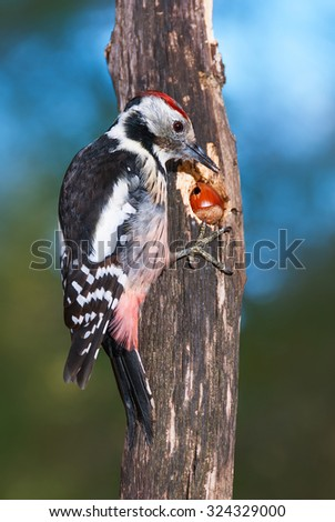 Middle spotted woodpecker pecking on a nut - stock photo