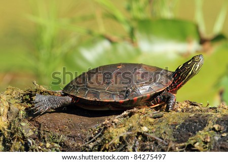 Midland Painted Turtle (Chrysemys picta marginata) Basking on a Log - Old Ausable Channel, Pinery Provincial Park, Ontario, Canada - stock photo