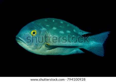 Midnight Snapper - Macolor macularis