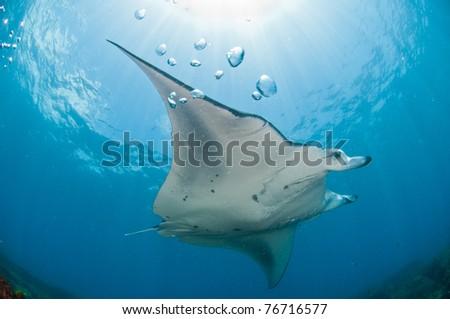 Mighty manta ray, Zavora, Mozambique - stock photo