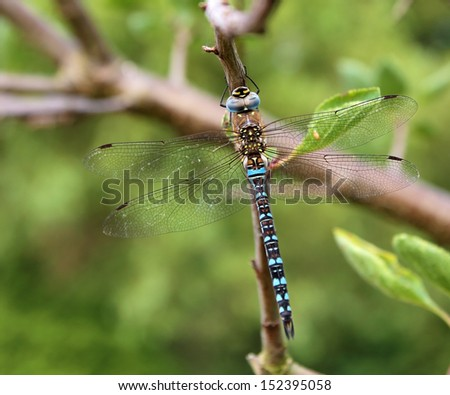 Migrant Hawker, blue adult male dragonfly, (Aeshna mixta) on a branch. - stock photo