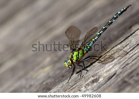 Migrant Hawker dragonfly on the wall - stock photo