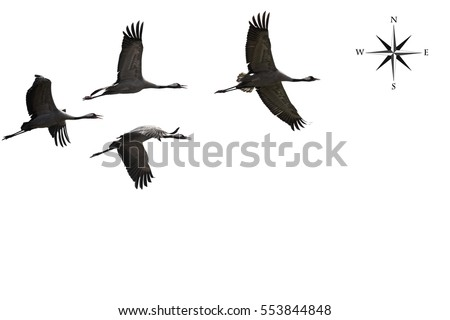 Migrating cranes fly ( flock, flight ) and Wind Rose. Free birds in the wild. Nature migration. Environment protection concept. Objects isolated on a white background. Copy space.