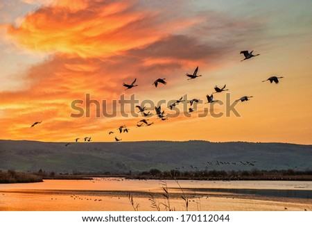 Migrating cranes over Hula lake reserve, Israel, spring