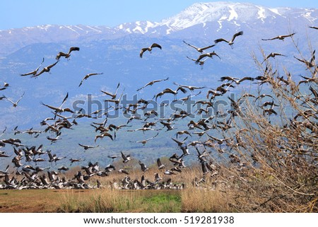 Migrating cranes. Pastoral landscape of Hula valley reserve with Hermon mountain in the background.Major stopover for birds migrating between Africa, Europe and Asia. North of Israel