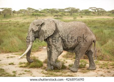 Migrating elephant in the african savanna during rainy season - stock photo