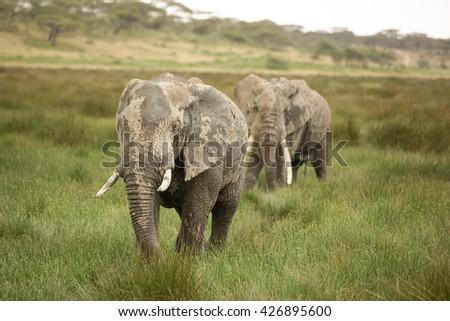 Migrating elephants in the african savanna during rainy season
