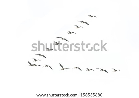 Migrating geese formation isolated on white background - stock photo
