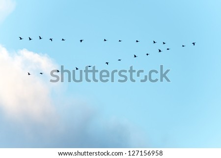 Migrating geese in winter
