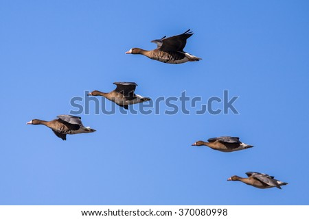 Migrating Greater White-fronted Goose (Anser albifrons) flying in Formation - stock photo