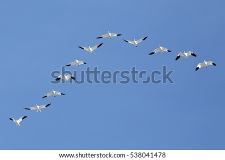 Migrating Snow Geese flying in a V formation across a blue sky.