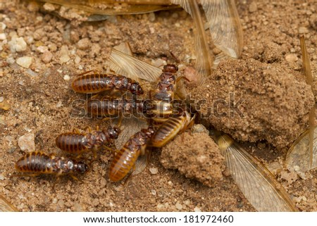 migrating termites  - stock photo