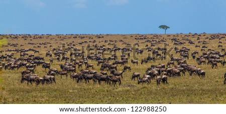 Migration of wildebeest near Mara River in Masai Mara National Park, Kenya - stock photo