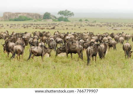 "Migration of Wildebeest (scientific name: Connochaetes taurinus or ""Nyumbu"" in Swaheli) image taken on Safari in the Serengeti National park, Tanzania"