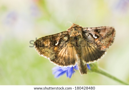 Migratory moth Silver Y or Autographa gamma butterfly feeding on flowers - stock photo