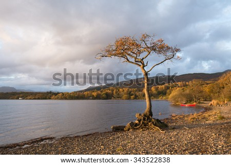 Milarrochy Bay, Loch Lomond, Scotland - Lone oak tree and red canoe on a beautiful late autumn afternoon - stock photo
