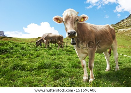 milck cow with bell grazing on Switzerland Alpine mountains green grass pasture over blue sky - stock photo