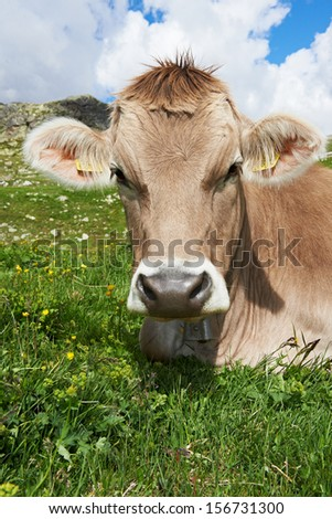 milck cow with grazing on Switzerland Alpine mountains green grass pasture over blue sky - stock photo