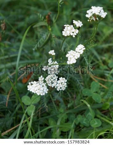Milfoil blossom, selective focus - stock photo
