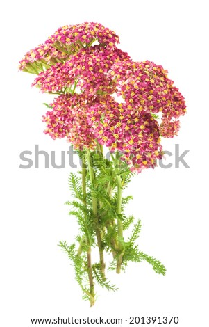 Milfoil flowers isolated  on a white background - stock photo