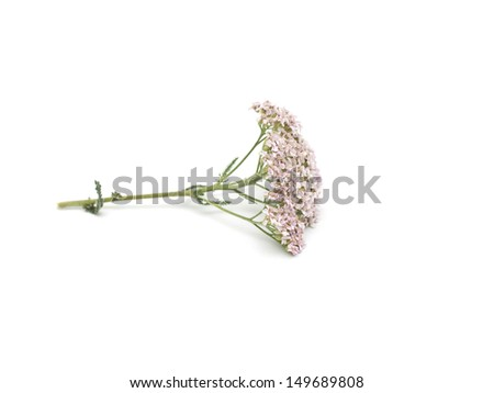 milfoil isolated on white background - stock photo