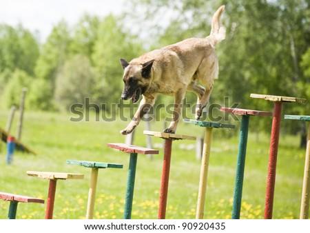 Military dog training german shepherd - stock photo