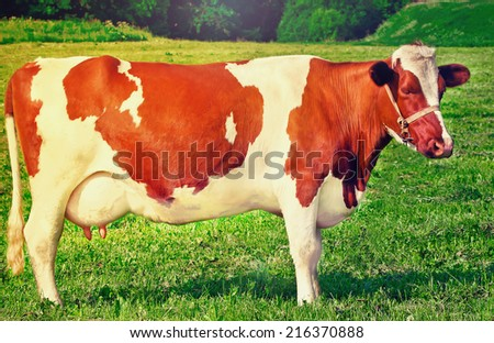 milk cow  in the meadow on a sunny day - stock photo