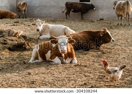 Milk cows outside their barns at summer time - stock photo