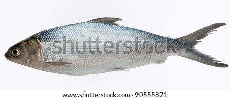 Milk fish isolated against white background.