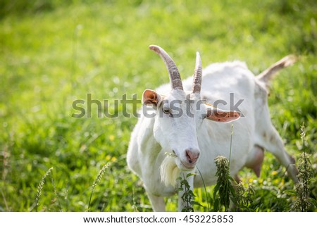 Milk goat pasturing on a rural pasture on a farm
