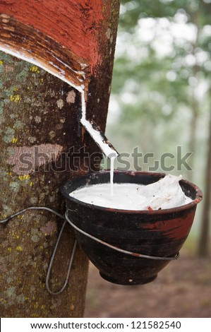 milk of rubber tree flows into a bowl - stock photo