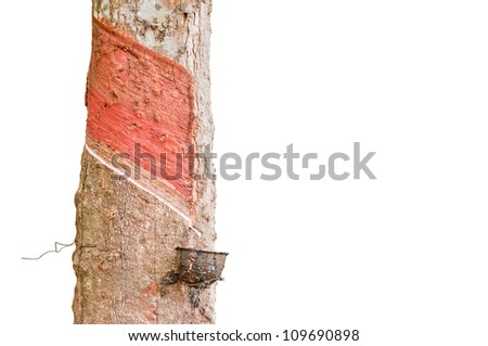 Milk of rubber tree flows into a wooden bowl on the white background. - stock photo
