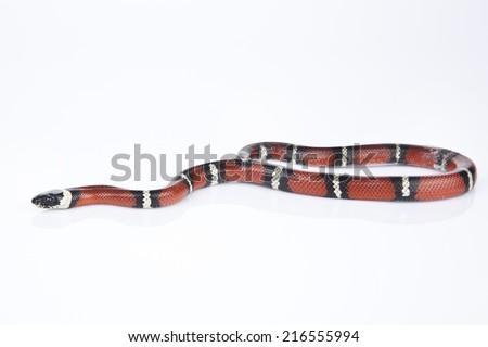 Milk Snake with white background - stock photo