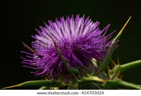 Milk thistle flower, silybum marianum  - stock photo