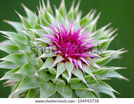 milk thistle macro very shallow depth of field beautiful purple - stock photo