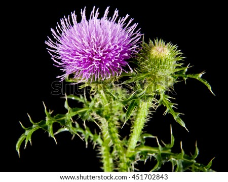 milk Thistle on a black background closeup