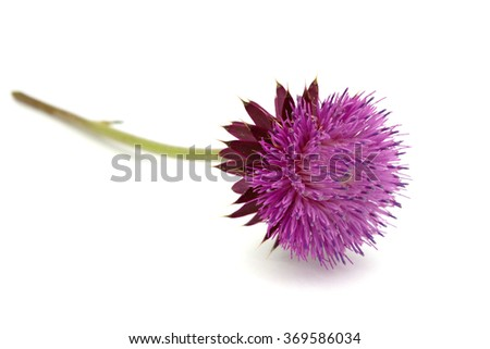 Milk Thistle plant( Silybum marianum) flower  - stock photo
