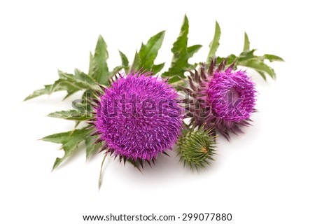 Milk Thistle plant (Silybum marianum) herbal remedy. Scotch thistle, Cardus marianus, Blessed milk thistle, Marian Thistle, Mary Thistle, Saint Mary's Thistle - stock photo