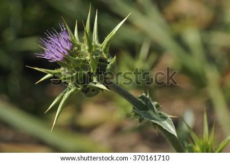 Milk Thistle - Silybum marianumSingle flower - stock photo