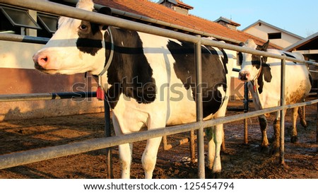 Milking Cows at a Dairy Farm Cows walking in a row. Selective focus. - stock photo