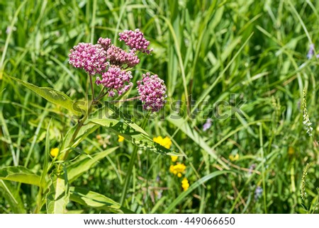 Milkweed American plant in bloom / Asclepias syriaca - stock photo